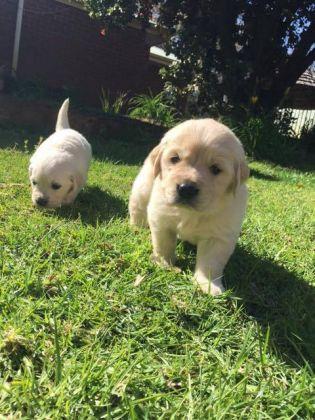 Free 2 Golden Retriever Puppies - Basin Radio